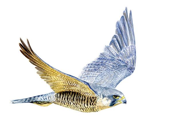 Peregrine Falcon by Hendrik Gheerardyn